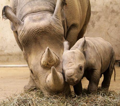 Mom and calf nuzzle muzzle to muzzle