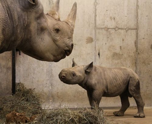 Mom imparts important rhino wisdom to junior