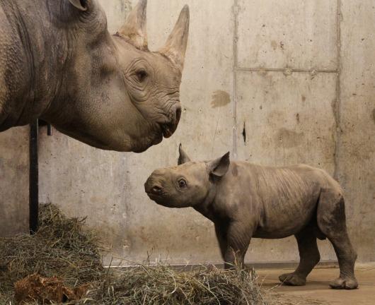 Mom imparts important rhino wisdom to junior