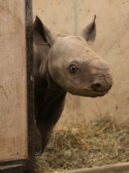 Black Rhino calf takes a peek at the St. Louis Zoo 1