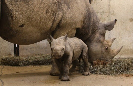 Black Rhino calf sticks close to mom at St. Louis Zoo 4b