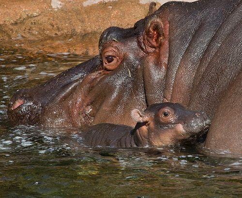 San-Diego-Zoo-Hippo-Baby3