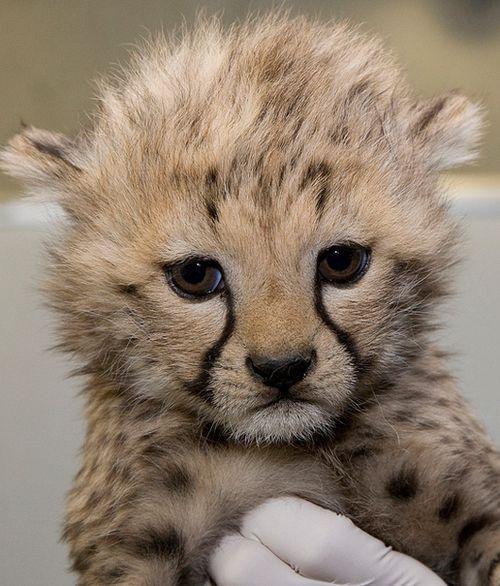 National-Zoo-Cheetah-7