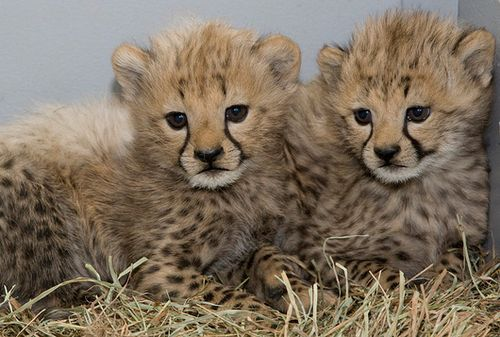 National-Zoo-Cheetah-5