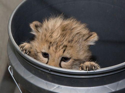 National-Zoo-Cheetah-34jpg