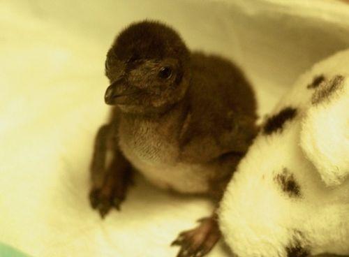 Baby penguin at the Cinncinnati Zoo