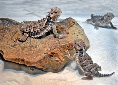 King of the hill, horned lizard style