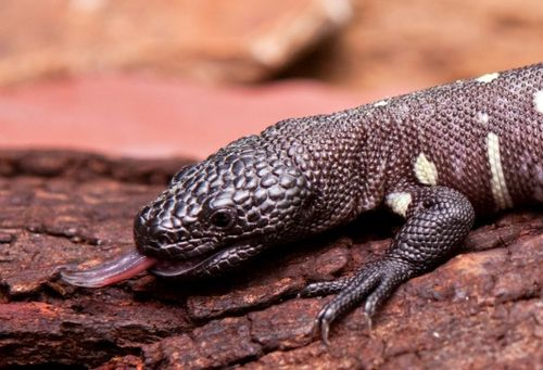 Mexican Beaded Lizard gives us the raspberry!