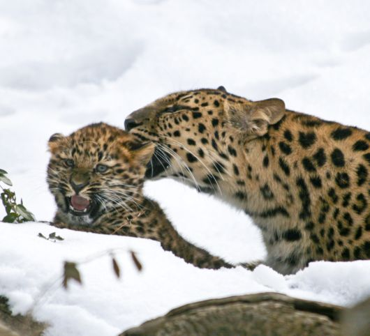 Amur Leopard cub gets a tongue bath from mom 2