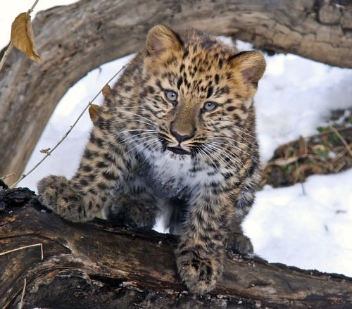 Amur Leopard ready to pounce 2