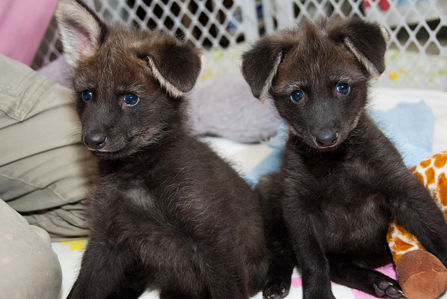 Dora and Diego, Maned Wolf puppies at the Houston Zoo