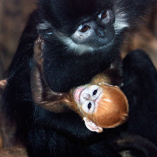 Cleveland-MetroParks-Zoo-Langur-3