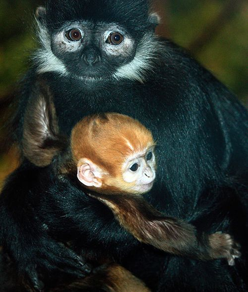 Cleveland-MetroParks-Zoo-Langur-2