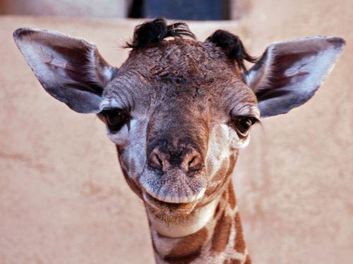 SB-Zoo-giraffe-Daniel-photo-credit-Sheri-Horiszny-1