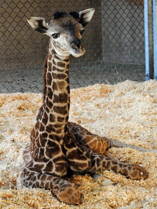 SB-Zoo-giraffe-Daniel-credit-Sheri-Horiszny-1