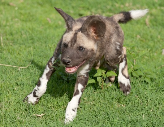 African Wild Dog ready to play at Ail Ain