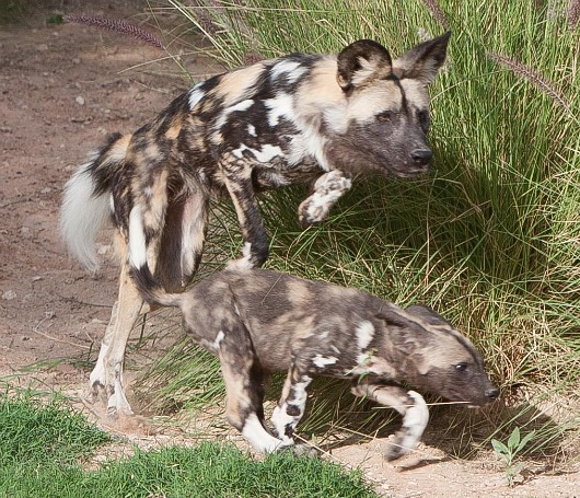 African Wild Dogs on the hunt with mom