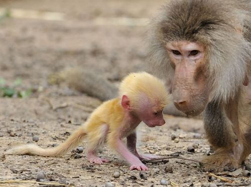 Baby Red Baboon explores with mom 1b