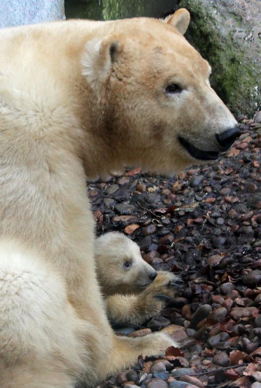 Little Polar Bear cub at Aalborg Zoo 5