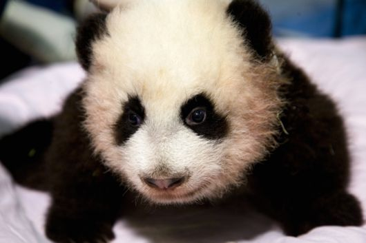 Baby Panda at Zoo Atlanta 2b
