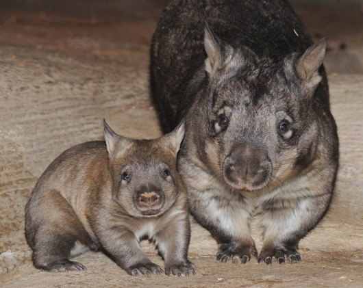 Baby Wombat and mom pose for family portrait