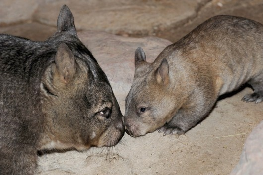 Baby Wombat and mom nose to nose