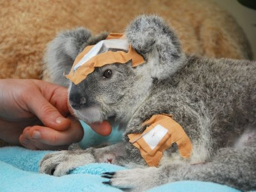Bandaged Koala joey Frodo at Australia Zoo 1a