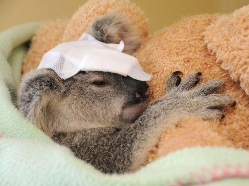 Bandaged Koala joey Frodo at Australia Zoo 2