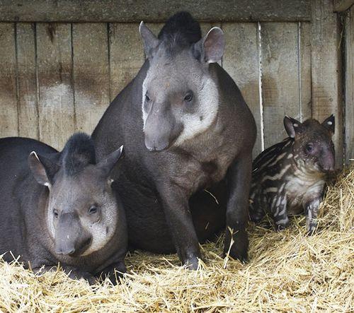 Bristol-Zoo-Tapir-family-credit-Bob-Pitchford