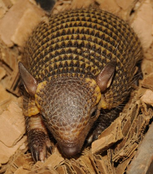 Screaming Hairy Armadillo Babies Zooborns