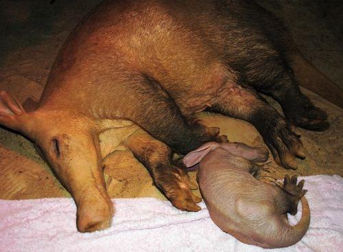 Two sleepy Aardvarks