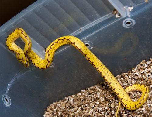 Green Tree Pythons yellow baby 3