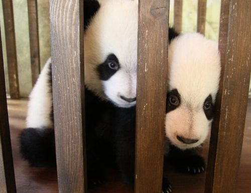 Panda Cubs at Madrid Zoo 4