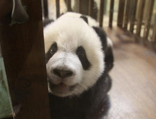 Panda Cubs at Madrid Zoo 8