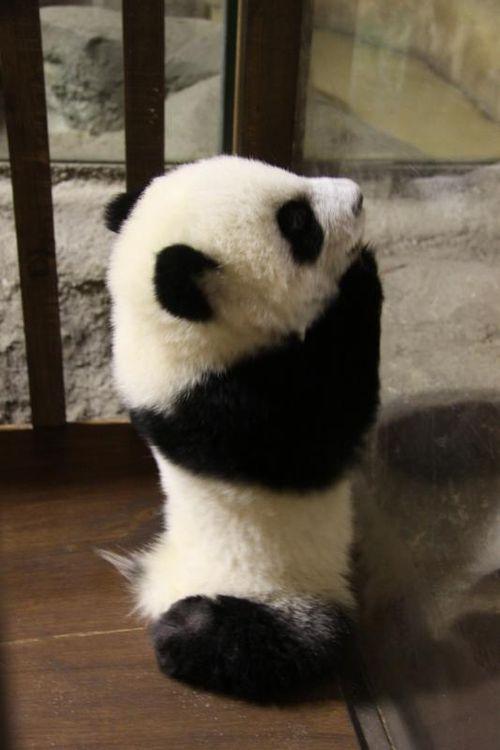 Panda Cubs at Madrid Zoo 2