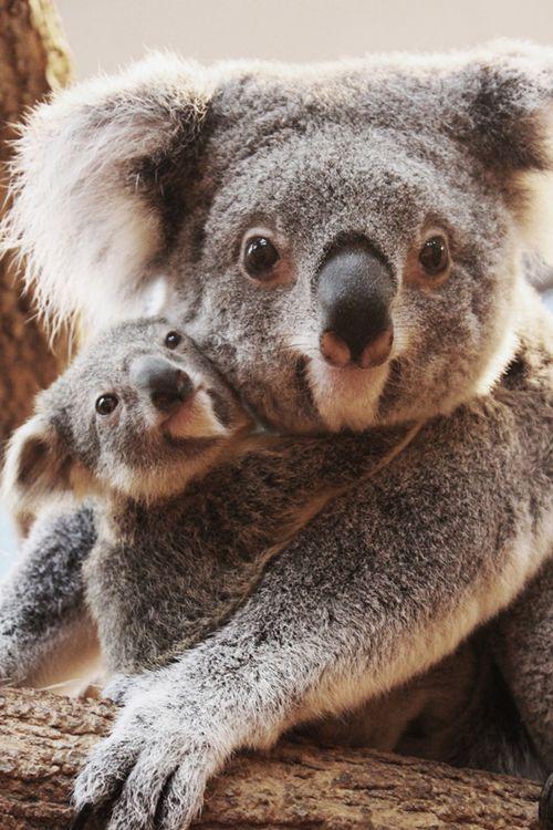 Bebe_koala_EORA-(c)ZooParcdeBeauval-(5)