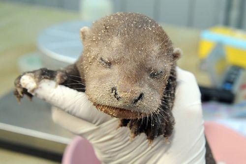 Miami-Zoo-River-Otters-2