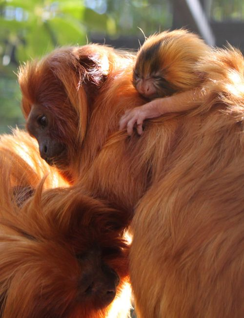 Golden-lion-tamarin-baby-family-credit-Katie-Clemons