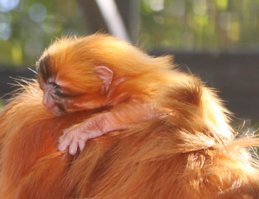 Golden lion tamarin baby profile credit Katie Clemons copy