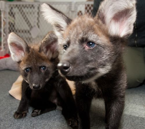 Houston-Zoo-Dora-and-Diego-Maned-Wolf-Pups-9