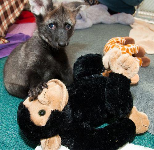 Houston-Zoo-Dora-and-Diego-Maned-Wolf-Pups-5