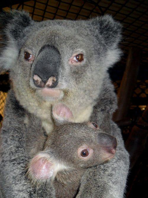 SF-Zoo-Koala2