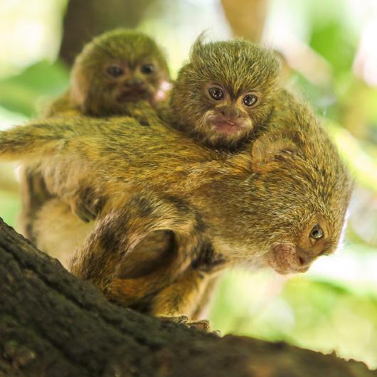 Perth-Zoo-Pygmy-Marmoset-Twins-2