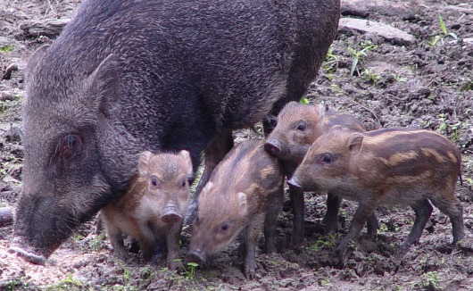 Formosan Wild Boar hoglets at Taipei Zoo 3