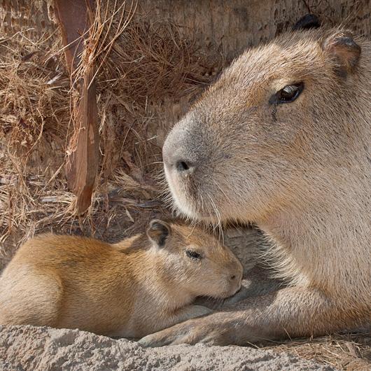 CapybaraBaby_002_Web_1
