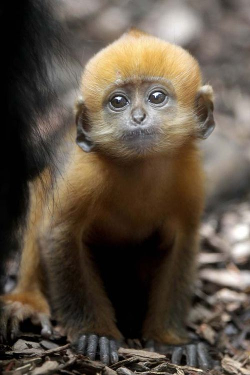 Francois Langur Baby at Taronga Zoo 1