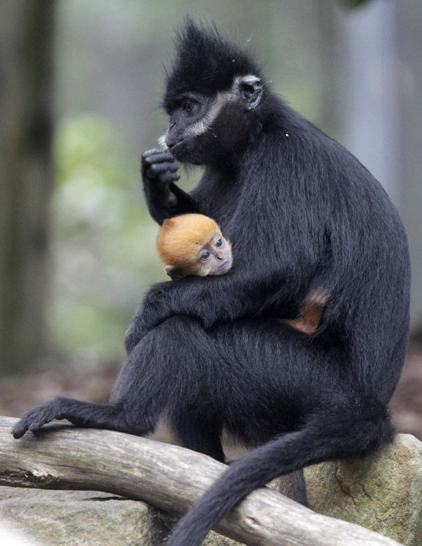 Francois Langur Baby at Taronga Zoo 3