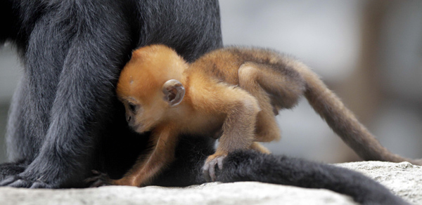 Francois Langur Baby at Taronga Zoo 2