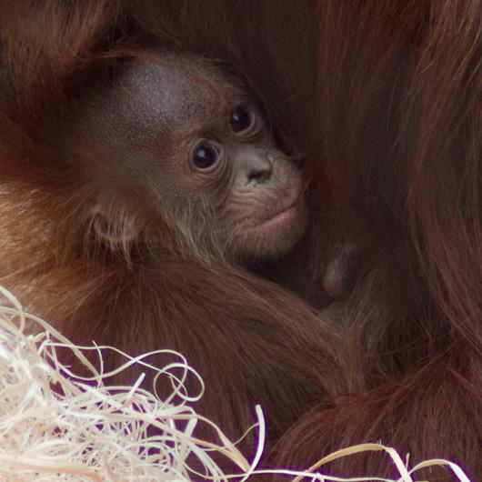 Fresno-Baby-Chimp-1