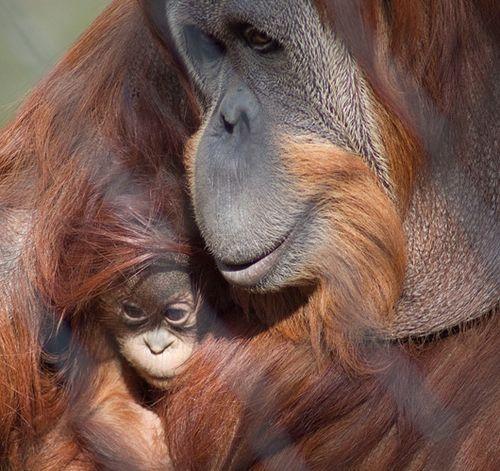 Fresno-Baby-Chimp-2